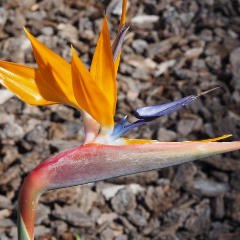 Bird of paradise bloom