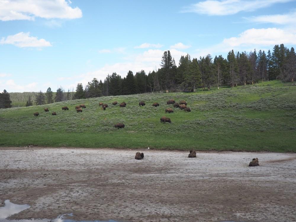 Bison in Hayden Valley