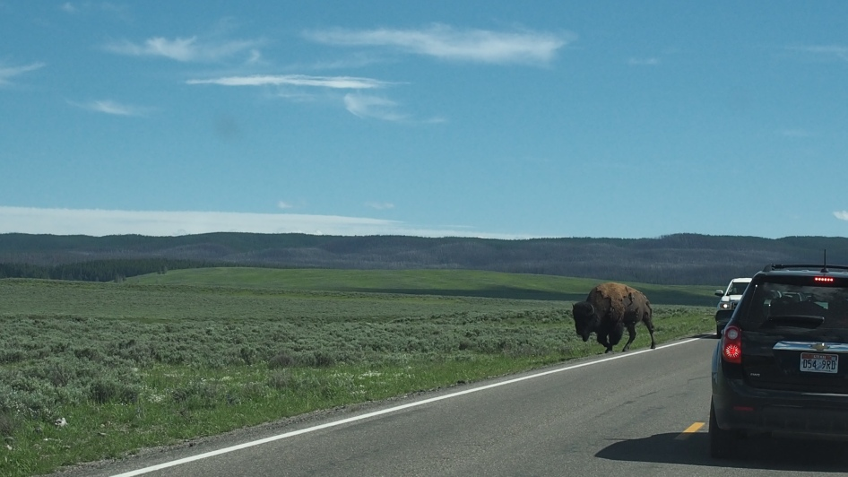 Bison at Hayden Valley