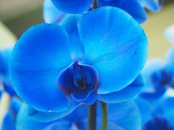 Keukenhof Gardens blue orchid