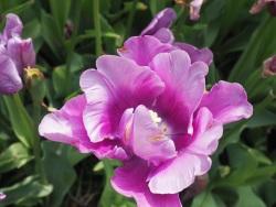 Keukenhof Gardens flower